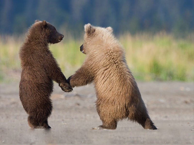 grizzly-bear-cubs-072509-sw