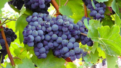 blue_grapes_fruit_blue_214143
